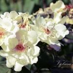 Photographie - Dentelle de Fleurs blanches - Violaine Martin Créations - Design textile - tissage jacquards, unis et velours - aquarelles botaniques - Hauts-de-France