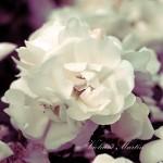 Photographie - Roses blanches d'églantier - Violaine Martin Créations - Design textile - tissage jacquards, unis et velours - aquarelles botaniques - Hauts-de-France