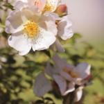 Photographie - Fleurs blanches de pommier - Violaine Martin Créations - Design textile - tissage jacquards, unis et velours - aquarelles botaniques - Hauts-de-France