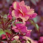 Photographie - Roses pourpres - Violaine Martin Créations - Design textile - tissage jacquards, unis et velours - aquarelles botaniques - Hauts-de-France