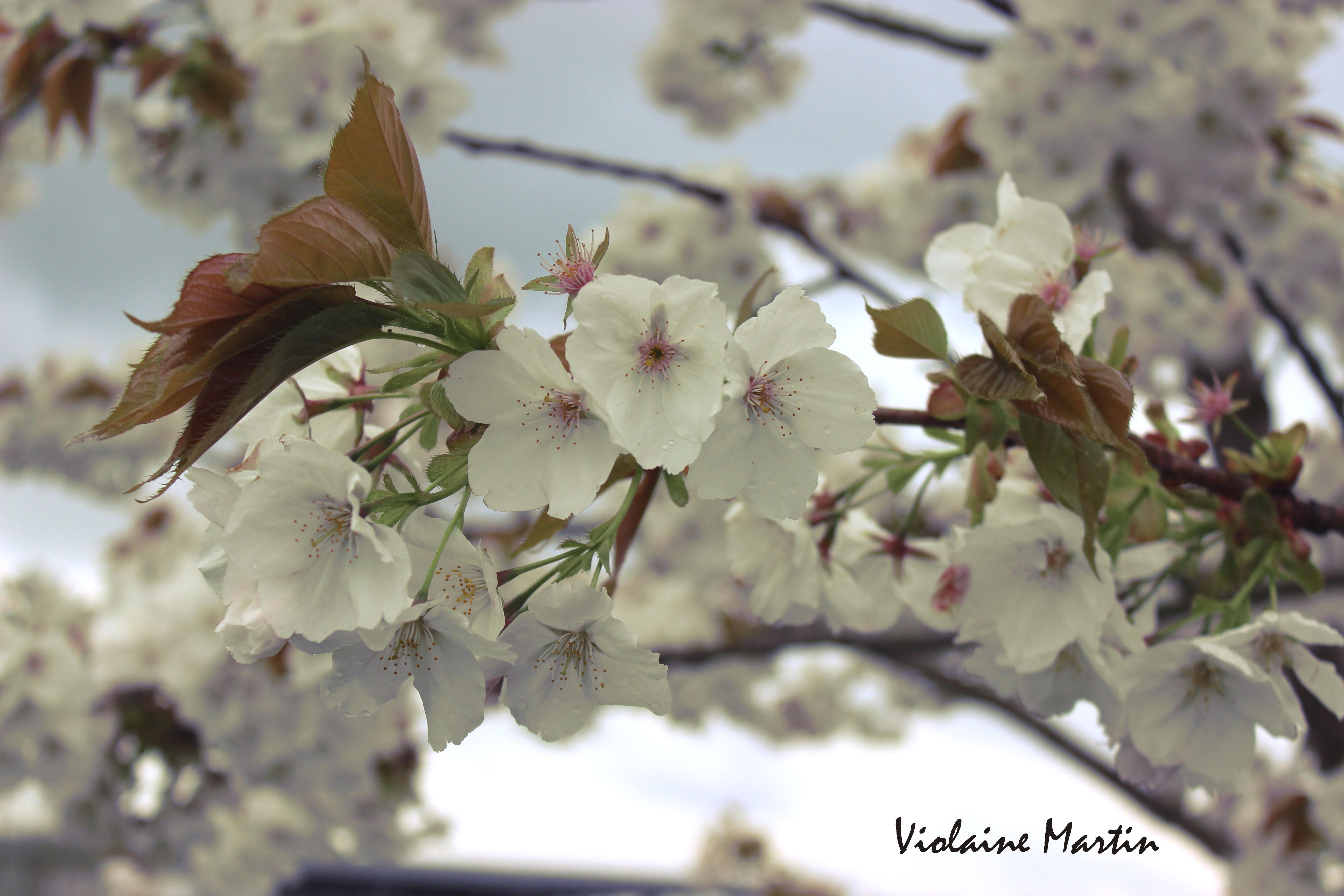 Photographie - fleurs de pommier - Violaine Martin Créations - Design textile - tissage jacquards, unis et velours - aquarelles botaniques - Hauts-de-France